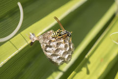 Wasp creating a nest in a palm leaf royalty free stock image