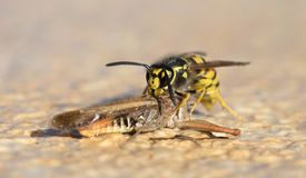 Wasp cutting of a grasshoppers head stock photo