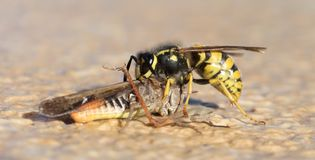 Wasp cutting of a grasshoppers head royalty free stock photos