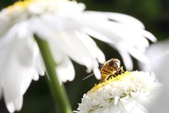 Wasp on daisy Stock Photography