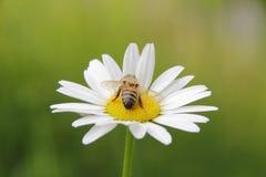 Wasp and Daisy Royalty Free Stock Photography