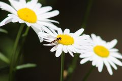 Wasp on Daisy. A wasp feeding on daisy pollen Stock Image