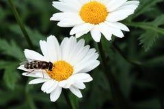 Wasp on a  daisy Stock Photo