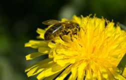 Wasp on the dandelion. Wasp collecting dust on a yellow flower Stock Photography