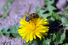 Wasp and dandelion Stock Image
