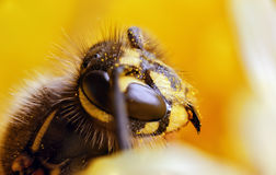 Wasp on dandelion. Super macro of a wasp on a yellow petals of a flower. Dandelion has attracted a wasp. Stamens and pistils of plants. The invisible world of Stock Photos