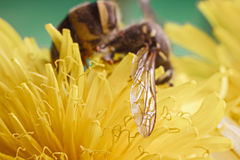 Wasp on dandelion. Super macro of a wasp on a yellow petals of a flower. Dandelion has attracted a wasp. Stamens and pistils of plants. The invisible world of Stock Image