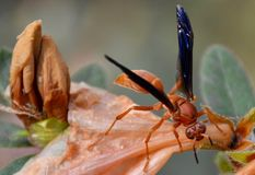 Wasp on dead azalea. Blooming in the garden Stock Photography