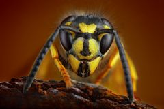 Wasp detailed portrait Royalty Free Stock Photos