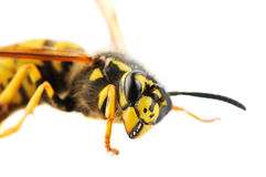 Wasp detailed portrait Royalty Free Stock Photography