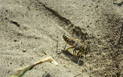 Wasp digs in the sand Stock Photos