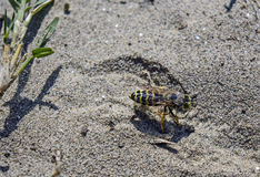 Wasp digs in the sand Royalty Free Stock Photo