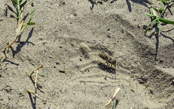 Wasp digs in the sand Royalty Free Stock Images