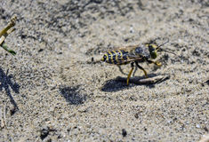 Wasp digs in the sand Stock Photo
