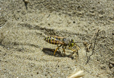 Wasp digs in the sand Stock Photography