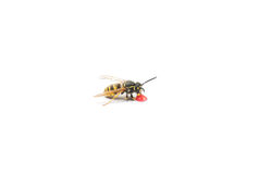 Wasp drinking Royalty Free Stock Photos