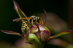 Wasp drinking nectar Stock Image