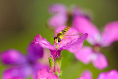 Wasp Drinking Nectar from Flower Stock Photo