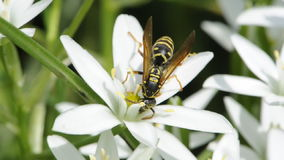 Wasp Drinking Nectar from Grass Lily Flower stock footage