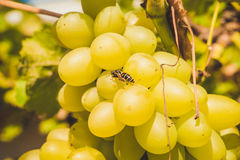 Wasp, drinking sweet grape juice Royalty Free Stock Image