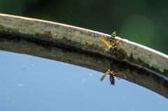 Wasp drinks water. From barrel Stock Photos