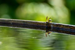 Wasp drinks water. From barrel Royalty Free Stock Photo