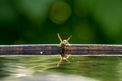 Wasp drinks water. From barrel Stock Photo