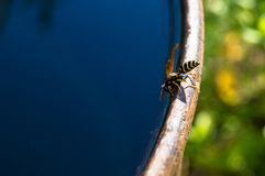 Wasp drinks water. From barrel Royalty Free Stock Photos