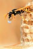 Wasp and drop of nectar Stock Photos