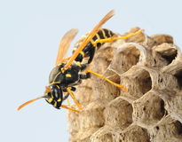Wasp at the dwelling Royalty Free Stock Photos
