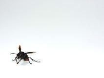 A Wasp Royalty Free Stock Photos