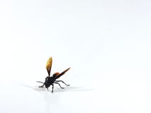 A Wasp Royalty Free Stock Images