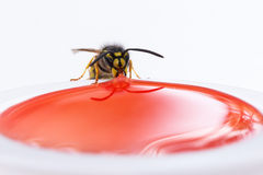 Wasp eating  Royalty Free Stock Image