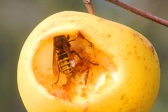 Wasp eating an apple Stock Photography