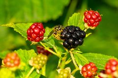 Wasp is eating blackberry Stock Image