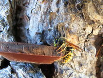 Wasp eating chocolate Royalty Free Stock Photos