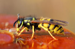 Wasp eating honey. Macro view on wasp eating honey Royalty Free Stock Images