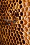 Wasp eating honey. Macro view on wasp eating honey Stock Images