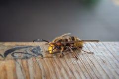 Wasp eating honey Stock Photography