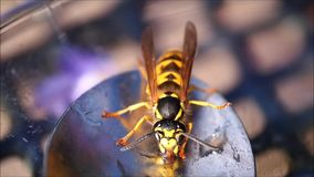 Wasp eating honey stock video
