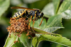 Wasp eating incest Stock Photography