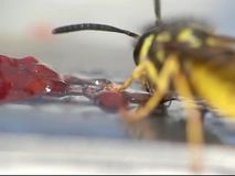 Wasp eating jelly. A close-up of a wasp eating jelly. Parts in 300fps, 600fps, 1200fps stock video footage