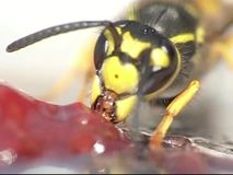 Wasp eating jelly. A close-up of a wasp eating jelly. Parts in 300fps, 600fps, 1200fps stock video