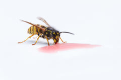 Wasp Eating Liquid Stock Photo