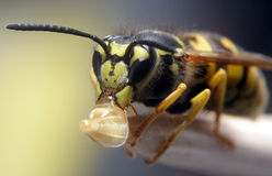 Wasp eating Royalty Free Stock Photography