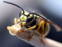 Wasp eating. Macro shot of wasp eating honey Royalty Free Stock Images