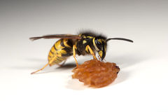 Wasp eating a piece of fruit Stock Images