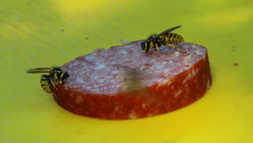 Wasp eating a sausage 7 stock footage
