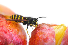 Wasp eating sweet fruit Stock Photos