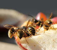 Wasp eating sweet fruit Stock Photography